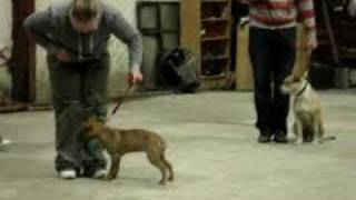 Ireland's First Pit Bull Terrier Classes