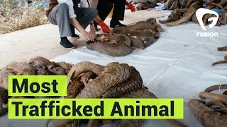 The Most Trafficked Animal in The World is Probably One You've Never Heard Of