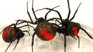 Video Deadly Spider Infestation How To Catch Lots Of Scary Redback Spiders download MP3, 3GP, MP4, WEBM, AVI, FLV September 2017