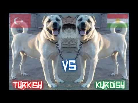 turkish kangal shepherd dog vs kurdish kangal shepherd dog dog fight youtube. Black Bedroom Furniture Sets. Home Design Ideas
