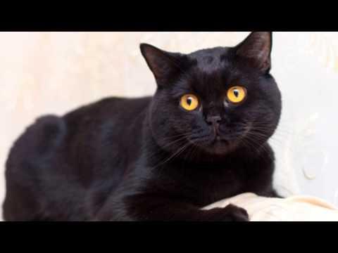 Британская короткошерстная кошка описание породы, фото