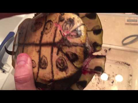 HOW TO FIX A CRUSHED TURTLE!!  2nd Chance at Life!