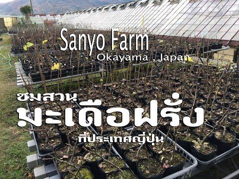 เยี่ยมชมสวนมะเดื่อฝรั่งซันโย ที่จังหวัดโอกายาม่า,ญี่ปุ่น Sanyo Figs Farm in Japan