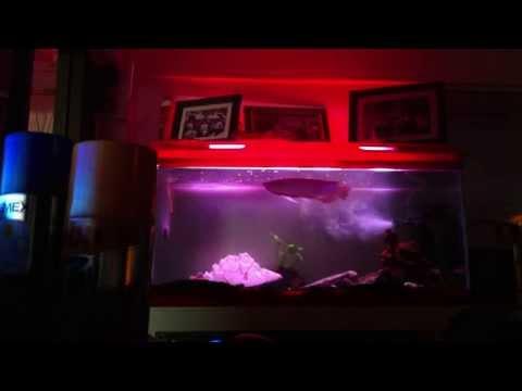 ปลามังกรเขียว(Arowana)