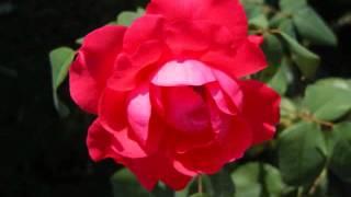 アルビノーニ 《 オーボエ協奏曲 ト短調 op. 9-8 》 第2楽章 アダージョ