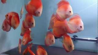 Discus fishICHI BAN RED
