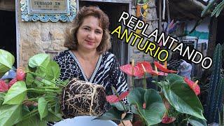 Veja Como Replantar a Planta Antúrio