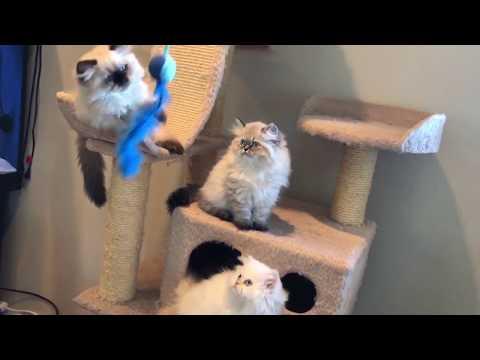 Beautiful Himalayan kittens playing - so fluffy !