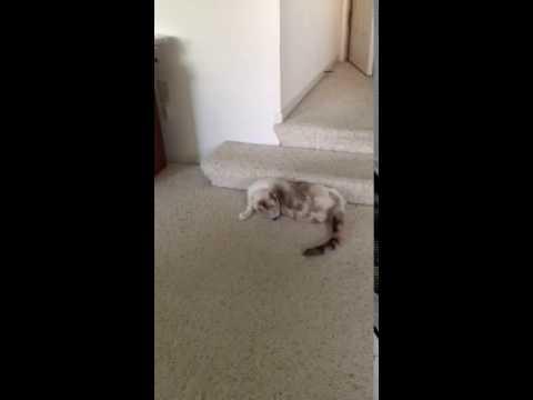 Funny Siamese
