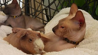 Sphynx Cats and Guinea Pig Relaxing in the Swing Chair