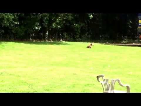 Surprise work fox