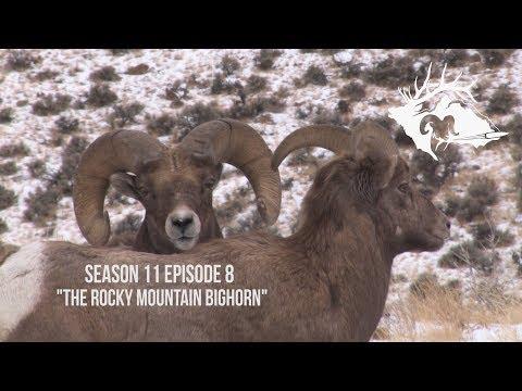 The Rocky Mountain Bighorn