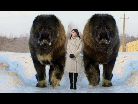 Sahibini Güvende Tutan 10 Aşırı Büyük Köpek Cinsi