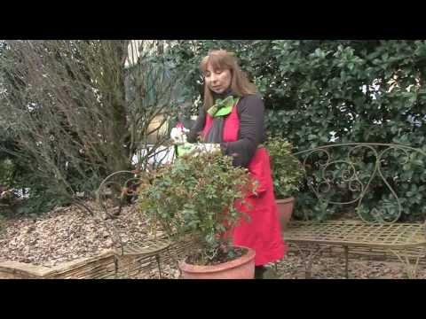 Malattie delle rose mal bianco o oidio e altre malattie for Malattie delle rose