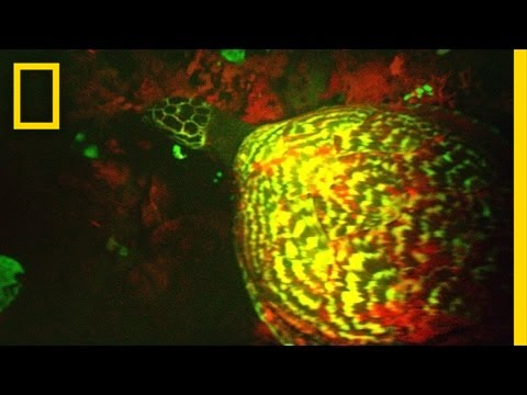 "EXCLUSIVE: ""Glowing"" Sea Turtle Discovered"