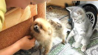 Котенок макс и померанский шпиц. Реакция котенка если щенок боится. Первый день в новом доме