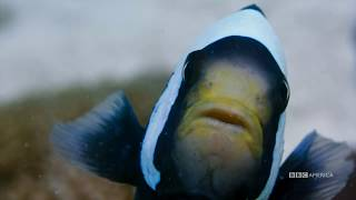 Planet Earth: Blue Planet II   Clownfish   Coming to BBC America 2018
