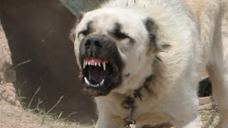 Kangal Köpekleri Hakkında 10 Önemli Bilgi