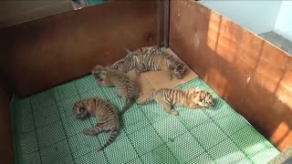 Adorable, Rare Tiger Quintuplets Are Raised By Keepers After Mom Rejects Them thumbnail