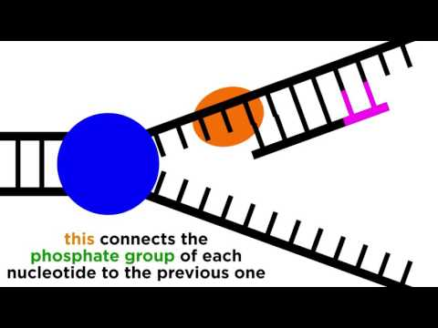DNA Replication: Copying the Molecule of Life