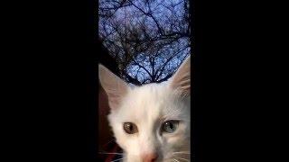 Разноглазый белый котенок Дарси из Крыма - ему 4 мес. слайд-шоу