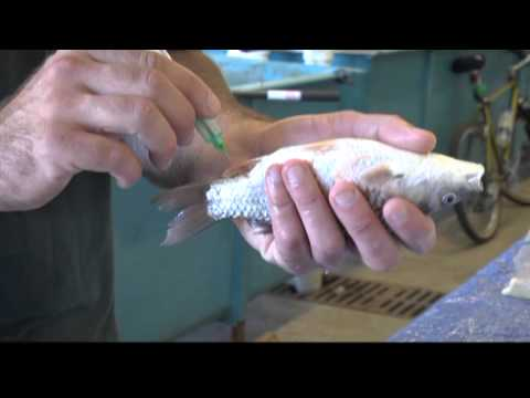 Drawing Blood From Fish (Koi X Goldfish Hybrids)