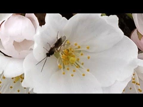 Portland Riverwalk Cherry Blossoms - 2018