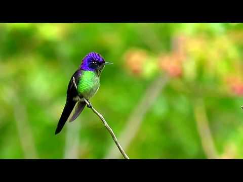 Purple-backed Thornbill, Ramphomicron microrhynchum, Serranía del Perijá, Northern Colombia Birding