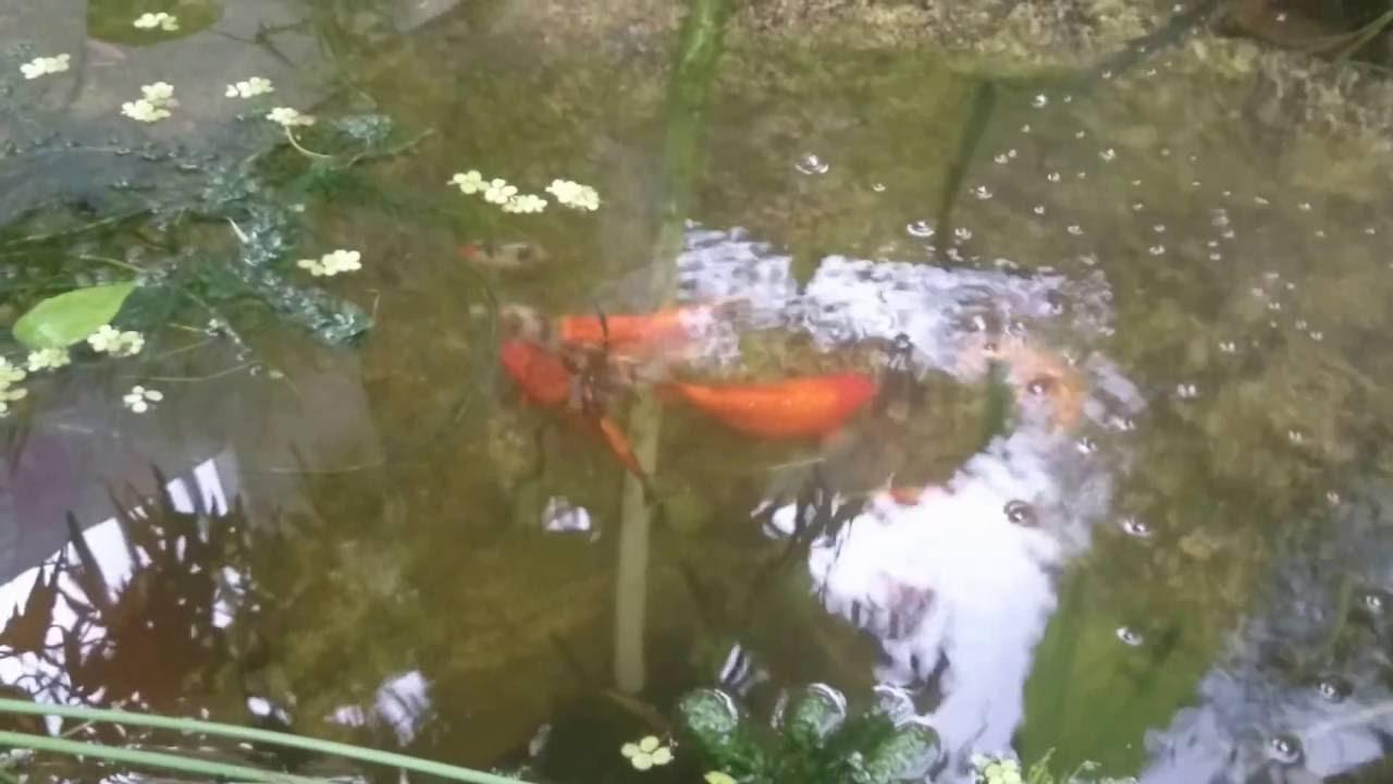 Estanque de peces koi jardin de nuestra casa youtube for Estanque peces koi