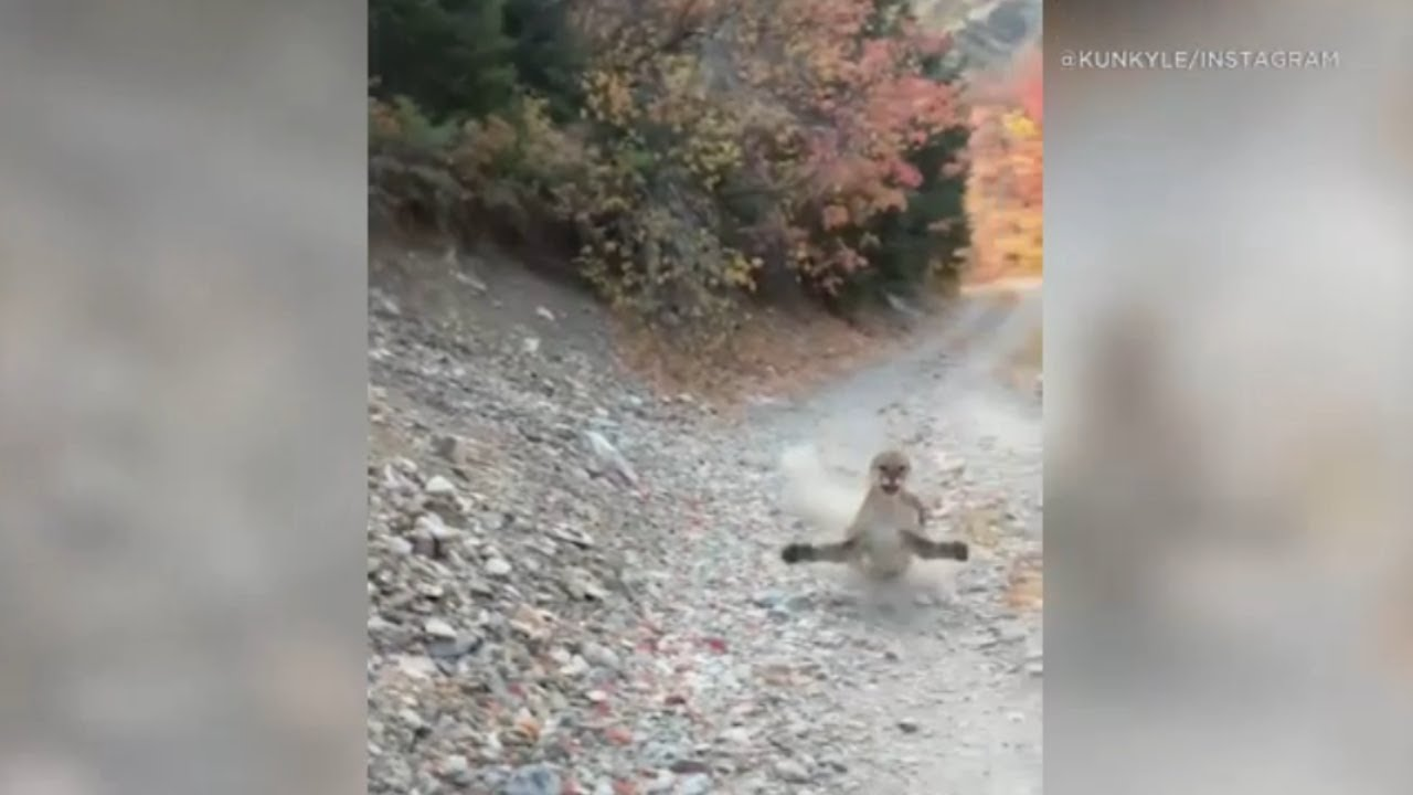 Download Viral video shows cougar stalking Utah hiker in terrifying 6-minute encounter - FULL VIDEO | ABC7