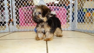 Yorkie Poo, Puppies For Sale, In, Lubbock, Texas, Tx, Waco, County, Garland, Irving