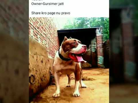 TOP PITBULL IN PUNJAB 2018 |TOP PUNJAB DE PITBULL |PITBULL DOG WITH NAMES|  top pitbull sher punjab d