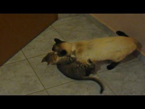 CAT FIGHT  Siamese Cat VS Stray Cat
