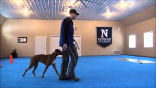 Rufus (boxer) Obedience Training Video