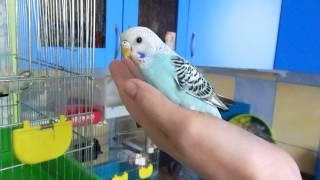 Продажа ручных птенцов волнистого попугая в Москве