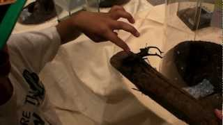 【ヨーロッパミヤマクワガタ】 (Lucanus cervus) は節足動物門昆虫綱甲...
