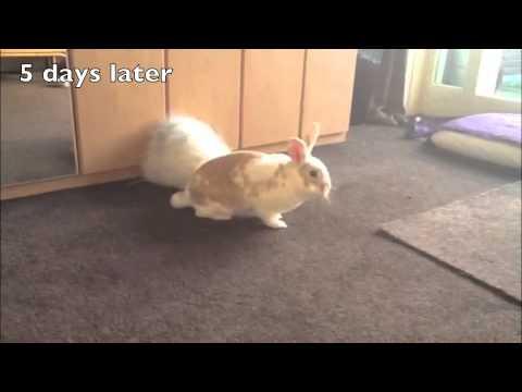 Afwijkend lopen bij een konijn tgv pijn