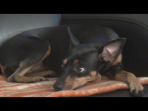 Śmieszny piesek. HIT ! Funny cute dog. Jak nauczyć i wychować swojego psa?  HD