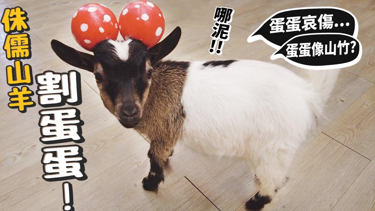 【從零開始養】侏儒山羊割蛋蛋!蛋蛋像山竹?獸醫到府結紮完整過程!【許伯簡芝】goat