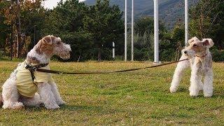 "Wire fox terrier ""nana"", she has got a friend at the BBQ picnic."