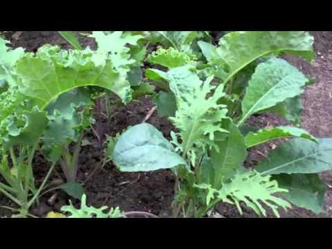 Howto: Harvest Kale - YouTube