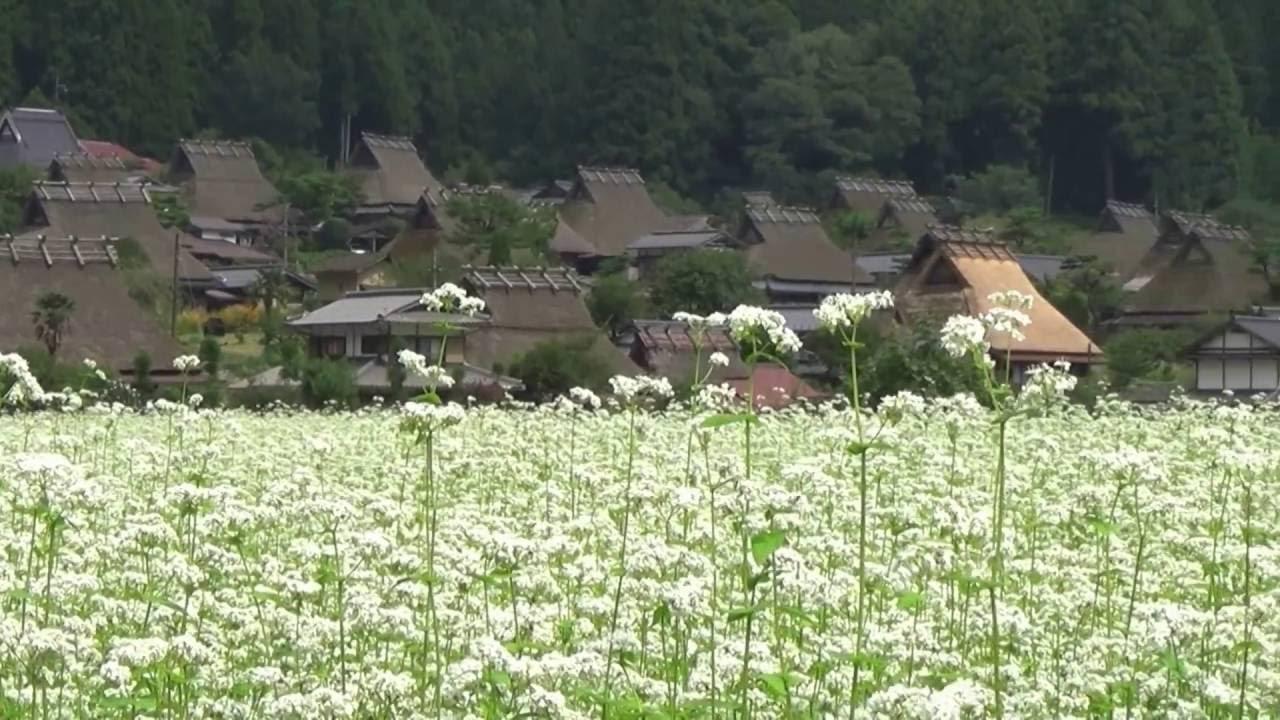 京都美山かやぶきの里 ~蕎麥(そば)の花咲く頃~ - YouTube