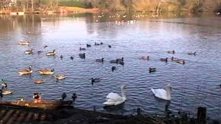 Mute Swans Cygnus Olor and Ducks Birds and Wildlife UK