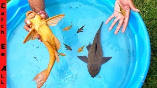 armored-catfish-having-baby-in-the-pool