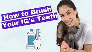 How to BRUSH Your Italian Greyhound's TEETH