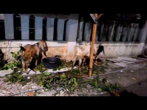 Sapi dan kambing qurban,,   masjid Raudhatul jannah 2016,,