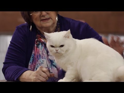 CFA Cat Show 2014 - Household pet judging- Baton Rouge