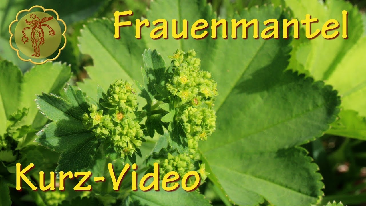heilpflanze frauenmantel kurz video youtube. Black Bedroom Furniture Sets. Home Design Ideas