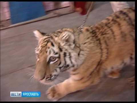 Цирк Никулина на Цветном бульваре готовит премьеру в Ярославле