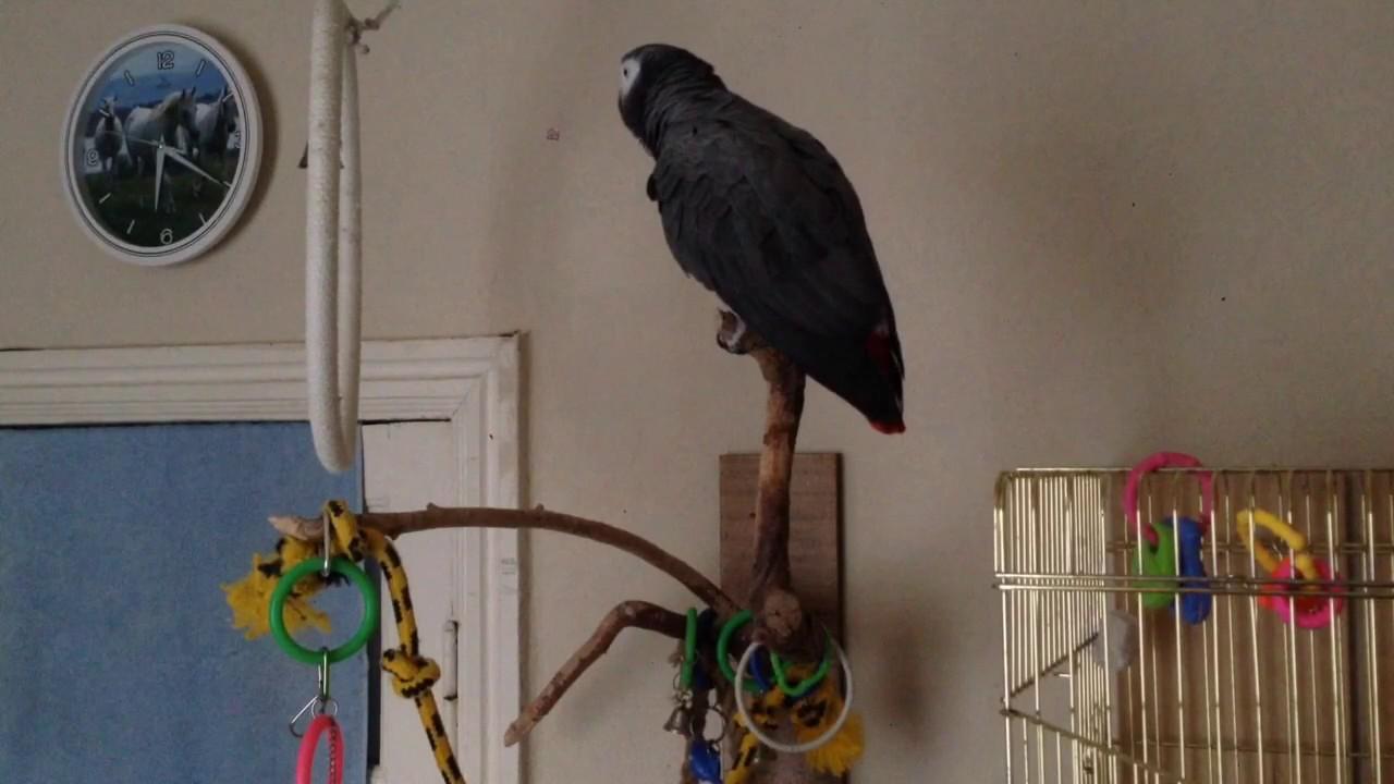 У попугаи есть писька